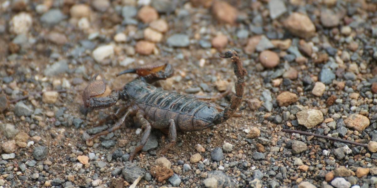 Em SP, ataques de escorpião crescem e assustam interior