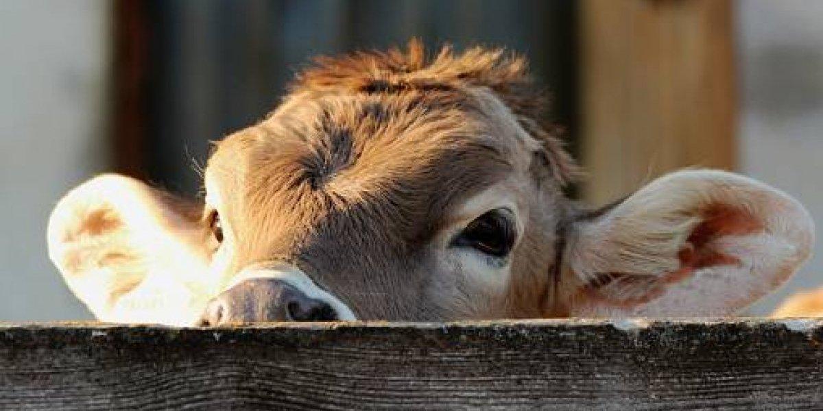 Se llevan tres vacas en Arecibo y seis toros en Morovis