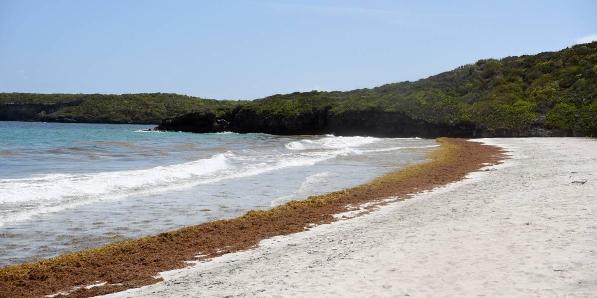 Vuelve el sargazo a las playas de Puerto Rico
