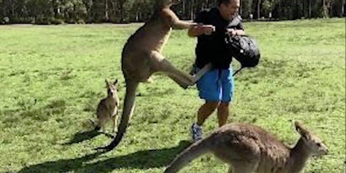 VIDEO: Canguros dan una paliza a turistas por tratar de alimentarles
