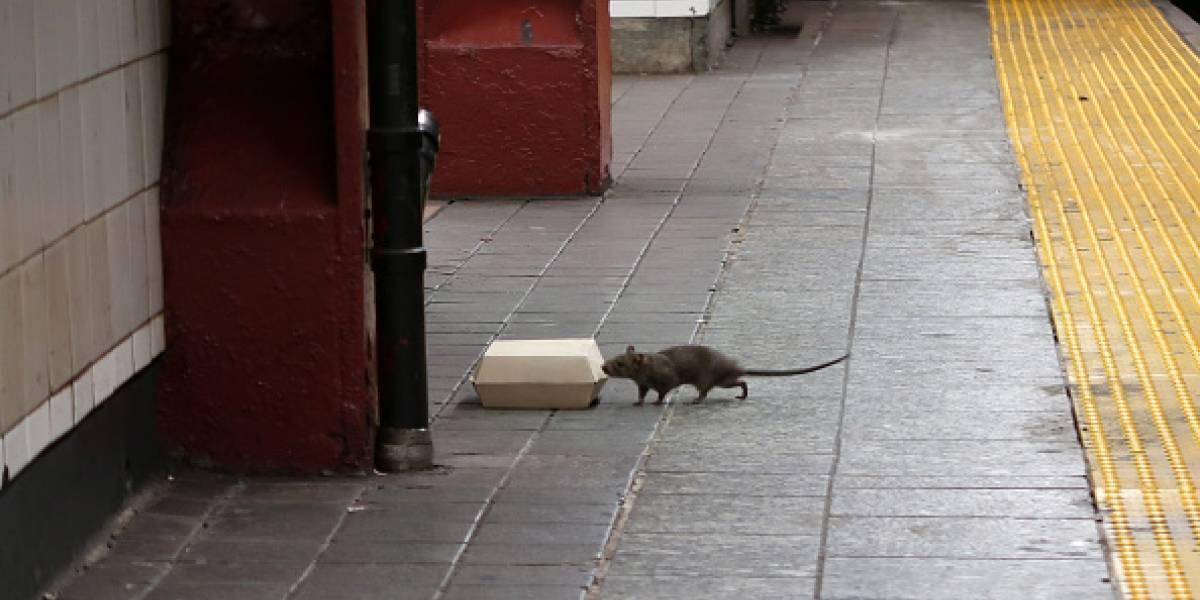 ¿Qué hacer ante una mordedura de rata?