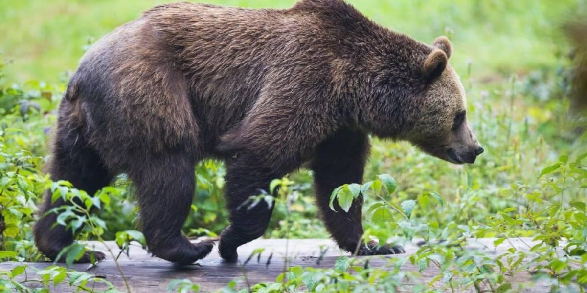 Taxista se topa con oso en plena carretera y se baja a sacarse una selfie con él: fue la última decisión que tomó en su vida