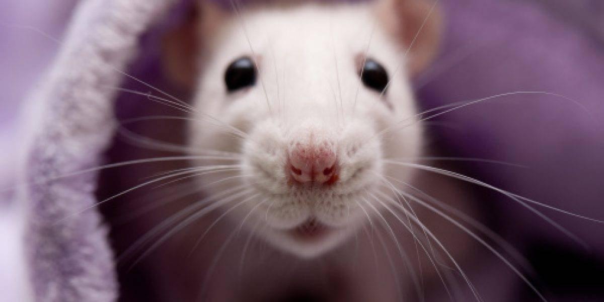 Ratas gigantes invaden ciudad británica
