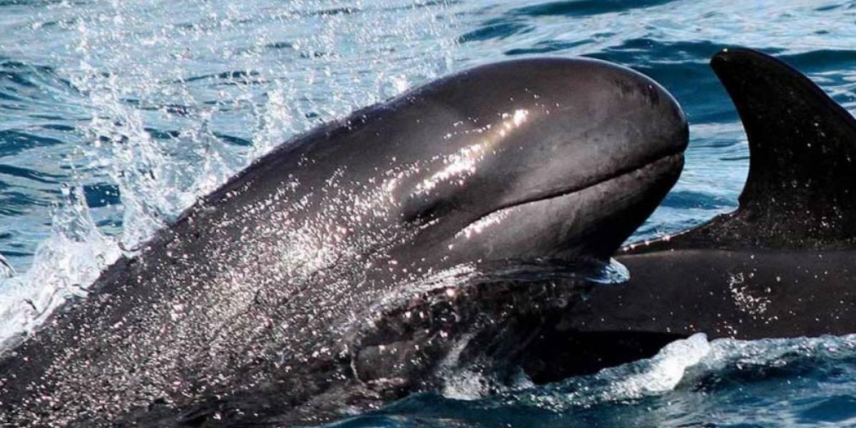 ¡Belleza natural! Así se vio el espectáculo de las falsas orcas en El Rodadero