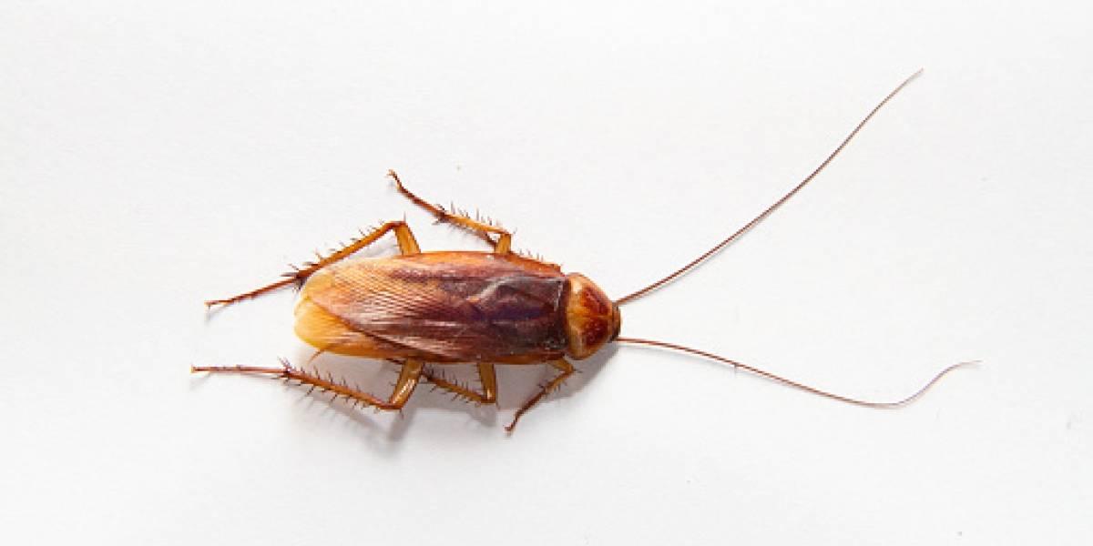 Una cucaracha pasó 10 días en el oído de una mujer estadounidense