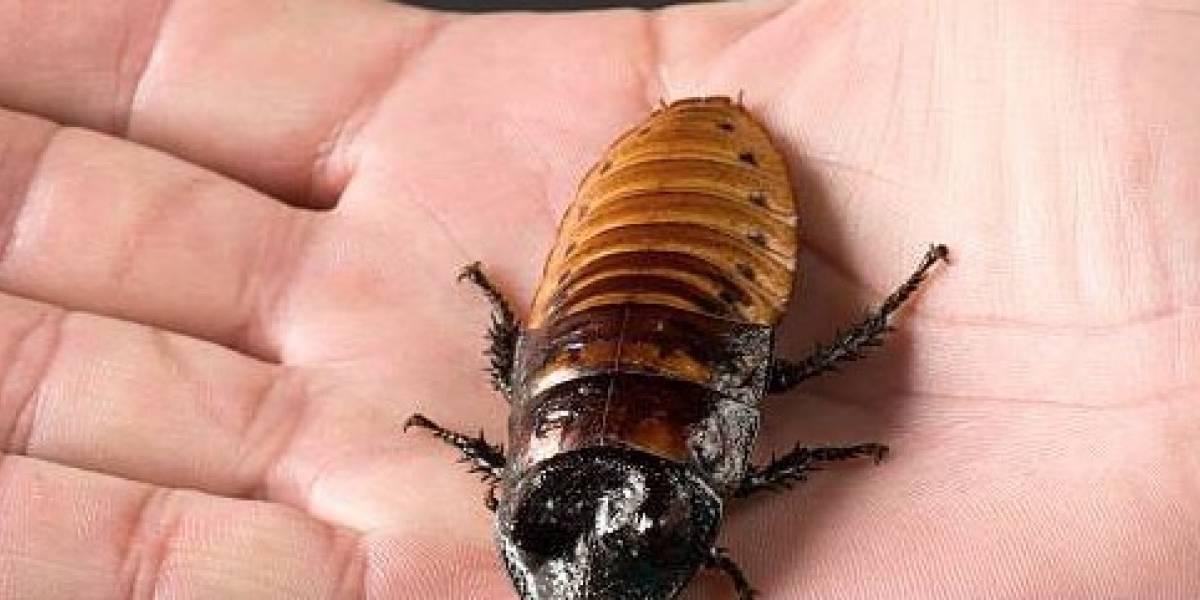 Una mujer vivió más de una semana con una cucaracha en el oído
