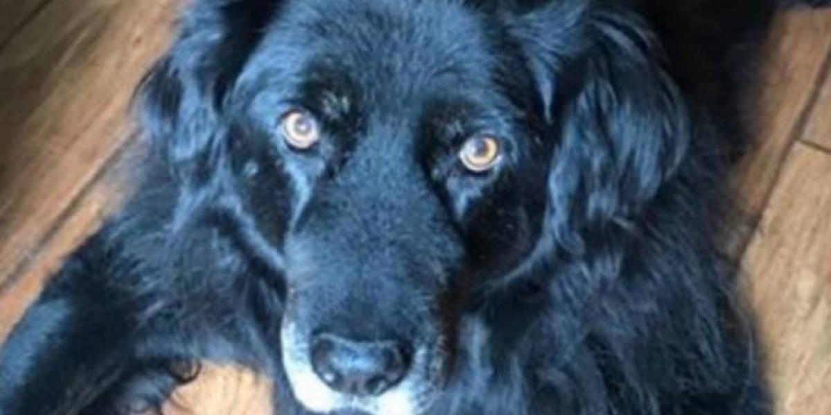 Su perro tiene cáncer e iniciaron una campaña para encontrar a sus hermanos para ver si con compatibles y realizar un trasplante de células madre o médula ósea