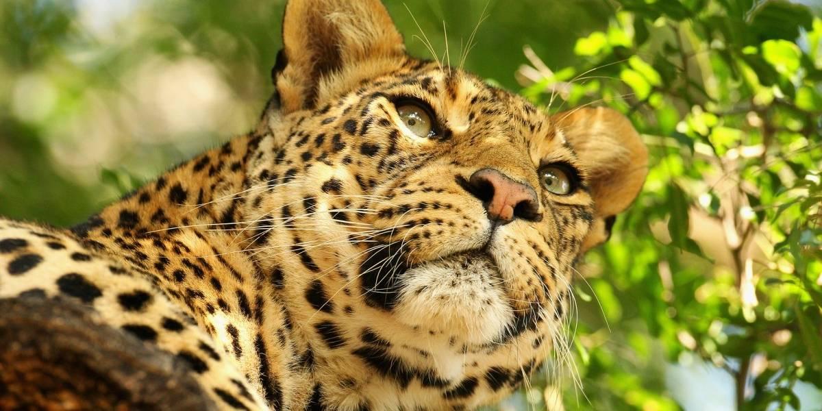 Intensa búsqueda en Uganda: leopardo devoró a menor de tres años, hijo de un guardia forestal