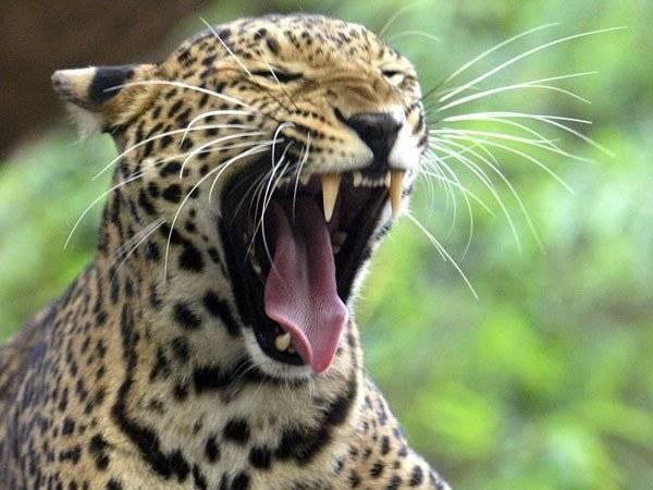 Leopardo, Niño, Uganda,