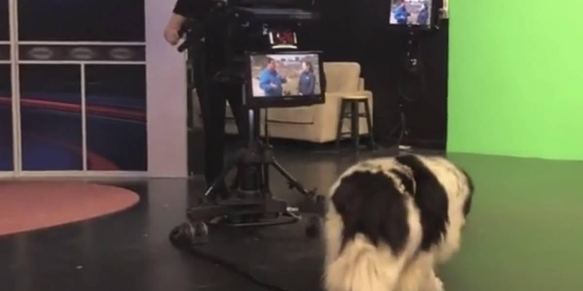 Video: Este perro se coló en una transmisión en vivo y la saboteó