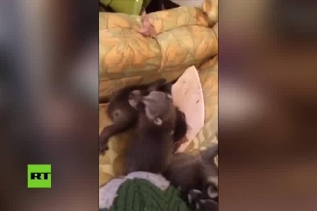 Del techo les cae una familia de mapaches