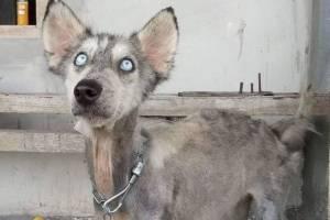 husky recuperado