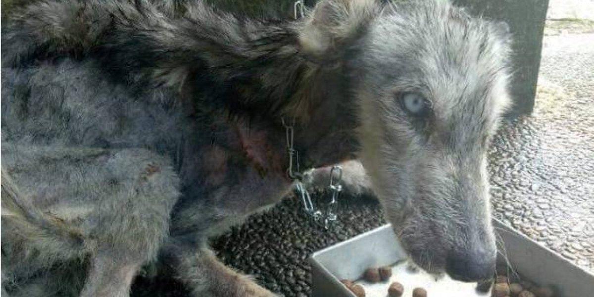 """""""Jamás pensaría que es el mismo cachorro"""": encontró un husky en terribles condiciones y luego de 10 meses así luce tras una increíble recuperación"""
