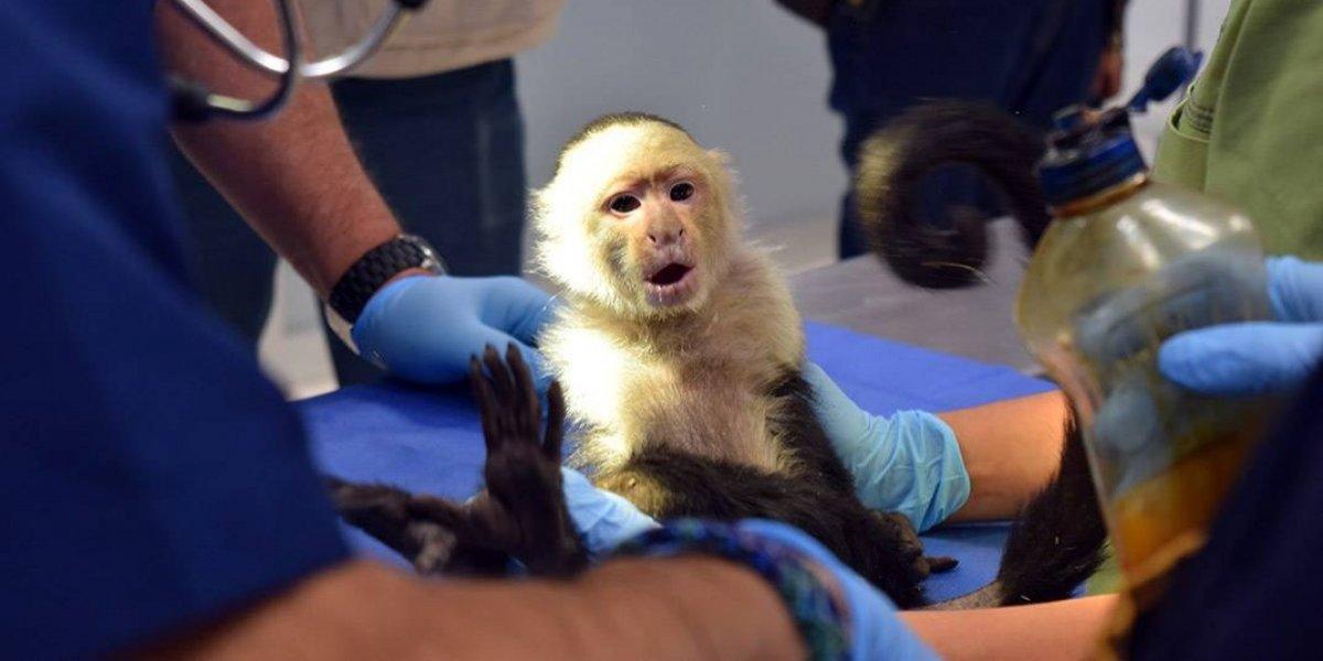 El mono capuchino de Las Lomas está mejor de salud y ya hasta tiene 'novia'