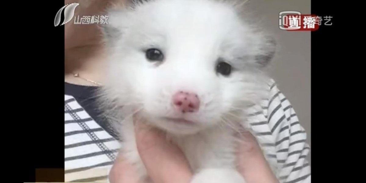 Su cachorro no ladraba y odiaba la comida de perro: mujer se llevó la sorpresa de su vida al comprobar que su mascota era en realidad un zorro