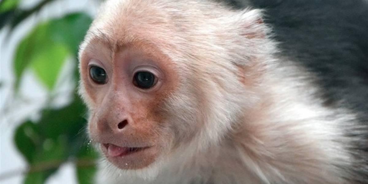 El mono capuchino de Las Lomas estuvo a punto de padecer diabetes
