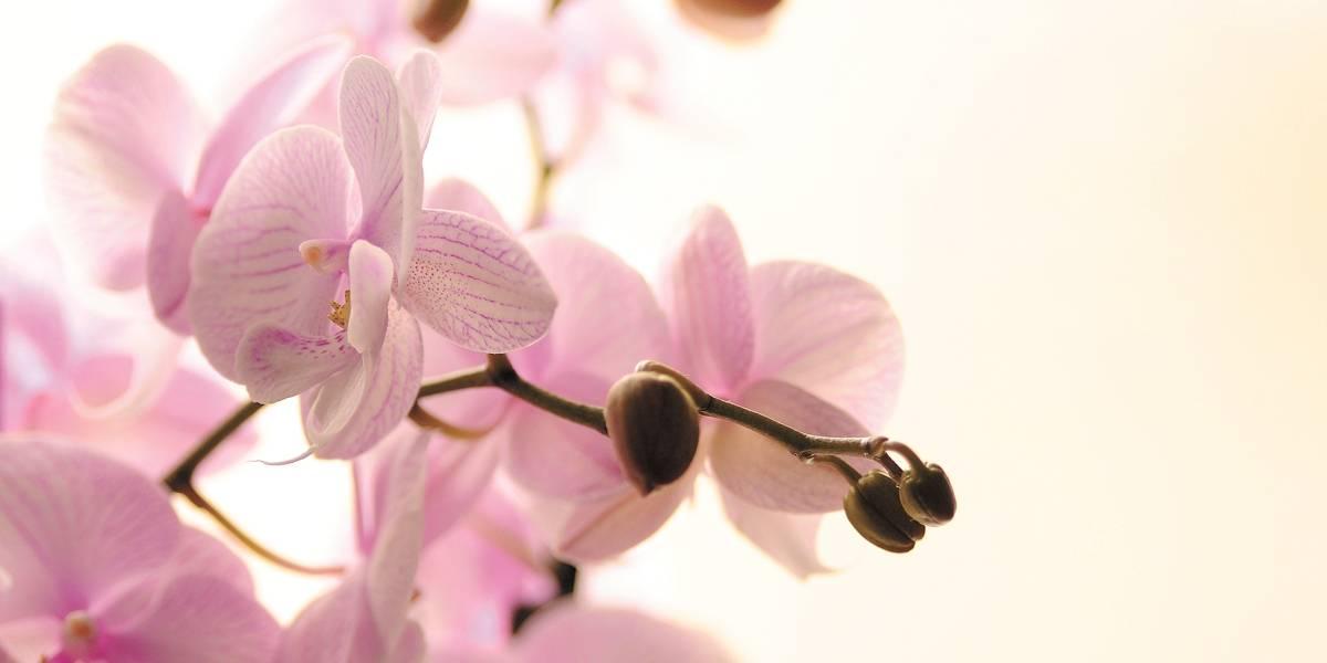 Lindas, coloridas e duradouras, orquídeas são uma boa opção de presente no Dia das Mães