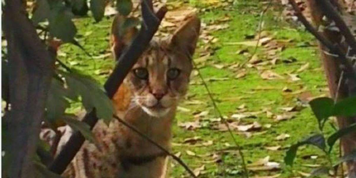 """Este es """"Siete"""" el gato gigante africano que revolucionó Las Condes"""