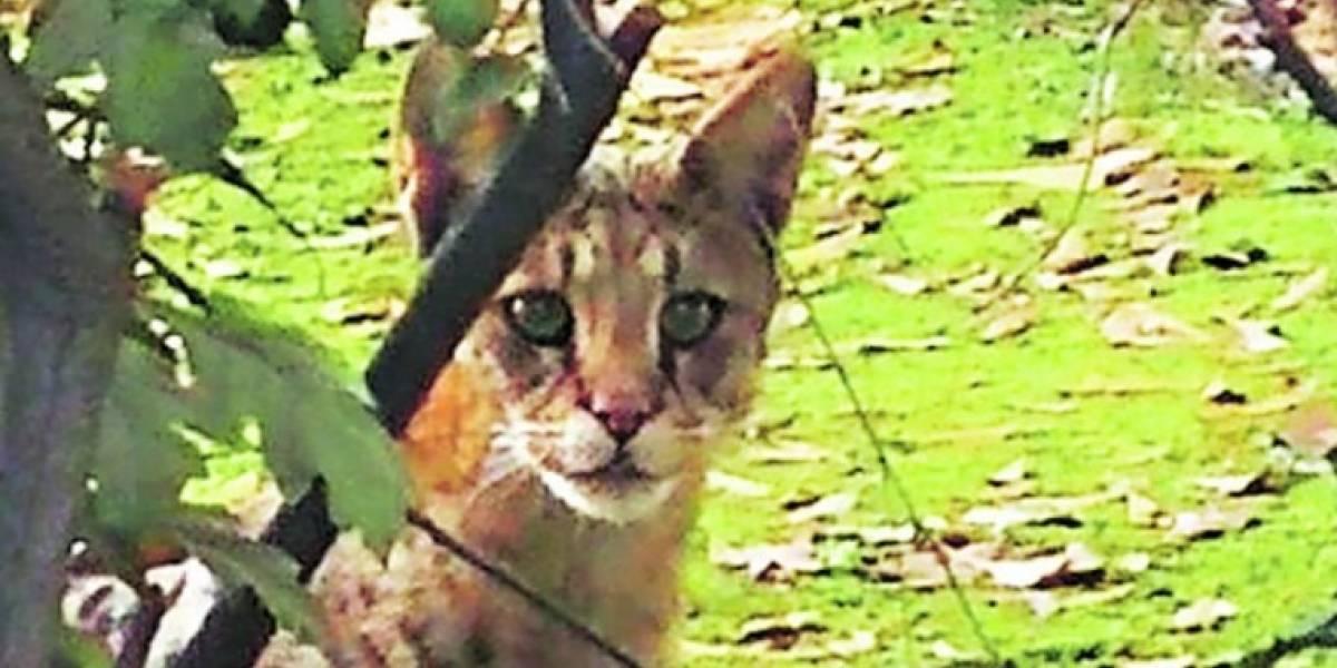 """""""Es muy regalón"""": Lavín conoció al """"manso gato"""" que atemoriza a los vecinos de Las Condes"""