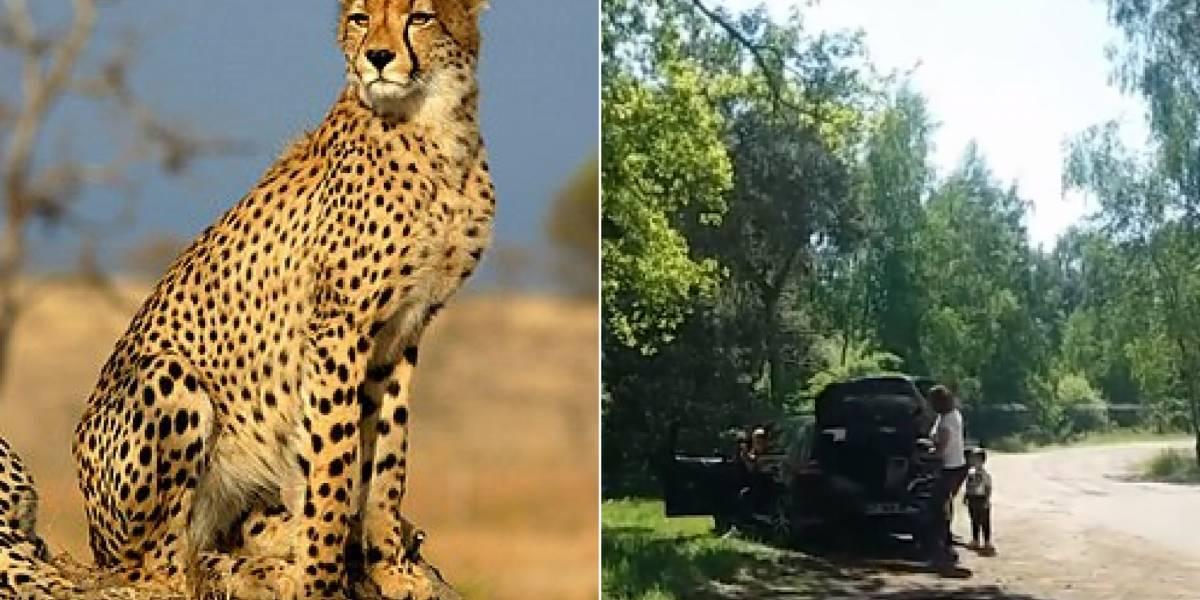 VÍDEO: Guepardos 'caçam' família que saiu do carro em safári