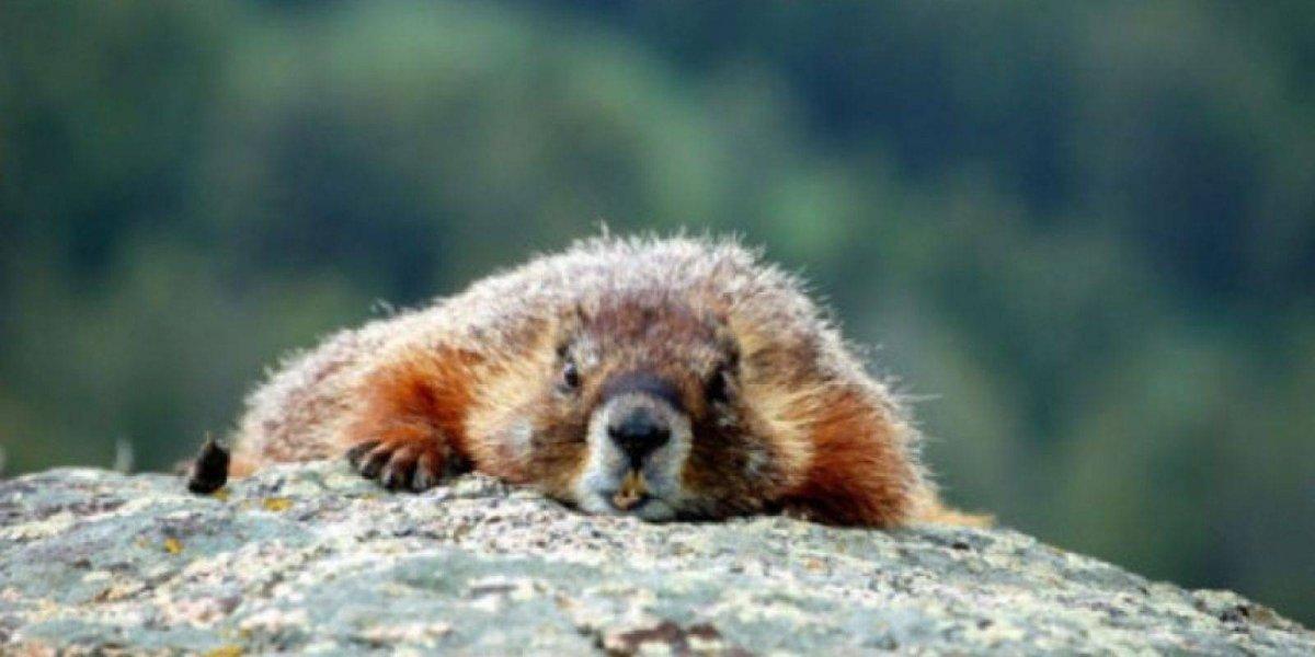 Policía dispara a una  marmota que traba de cruzar la carretera