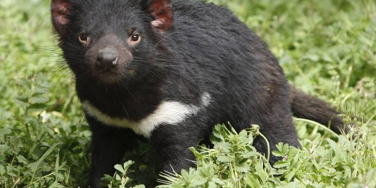 Como uma molécula descoberta no Brasil pode salvar o diabo-da-tasmânia de extinção