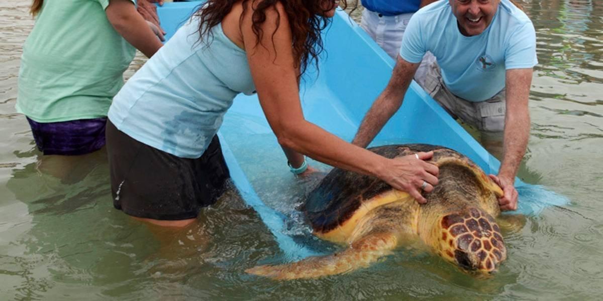 """""""Judy"""" tendrá una nueva vida: luego de 3 meses de tratamiento liberaron a tortuga que encontraron atrapada en una red y a la que tuvieron que amputarle una pata"""