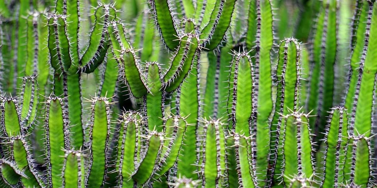 """México tiene el único cactus en el mundo que """"camina"""" y está en peligro de extinción"""