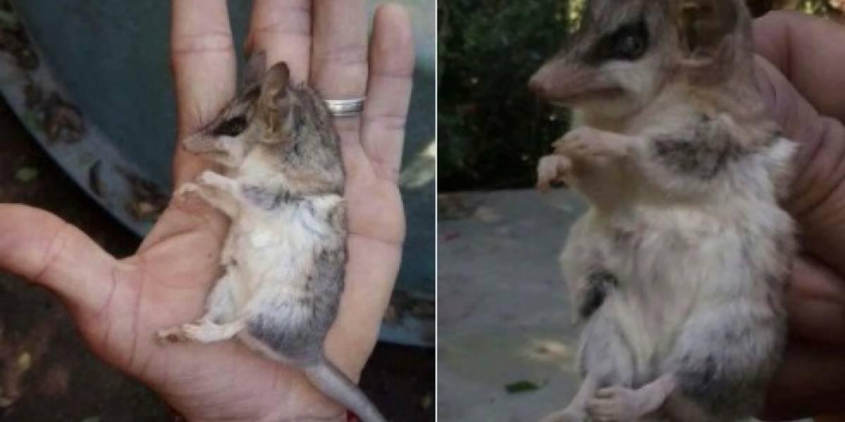 """""""¡No la mates!"""": tuiteros llaman a no exterminar la yaca, el marsupial chileno que la gente confunde con los ratones"""