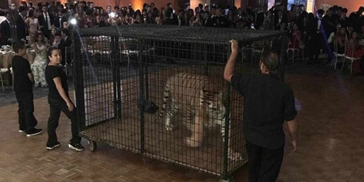 Usaron un tigre como sorpresa para graduandos de una secundaria de Miami