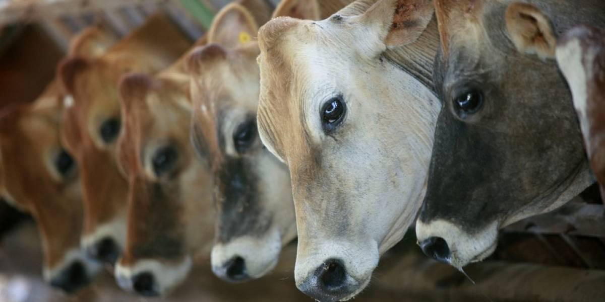 Quem são os ativistas que tentam proibir a exportação de quase R$ 1 bi em gado vivo do Brasil