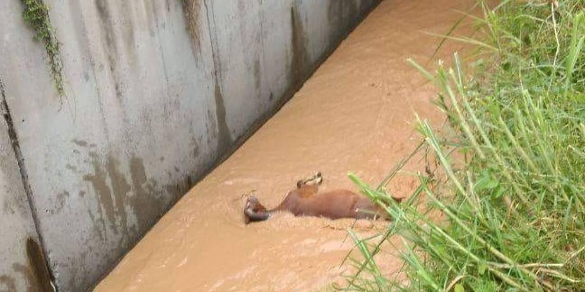En delicado estado el caballo que cayó a la quebrada El Hueso en Medellín