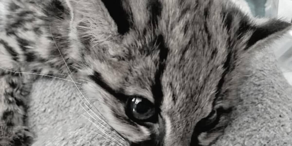 El Instituto de Protección Animal se pronuncia tras la muerte de un tigrillo en Bogotá