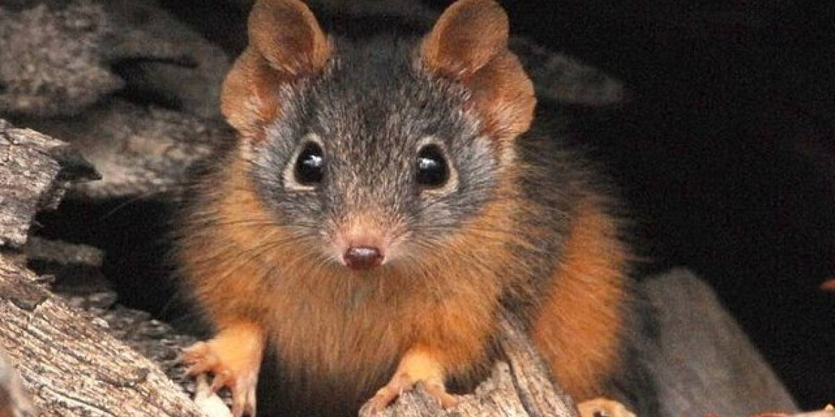 El hábito sexual suicida que tiene a un par de especies de marsupiales en riesgo de extinción
