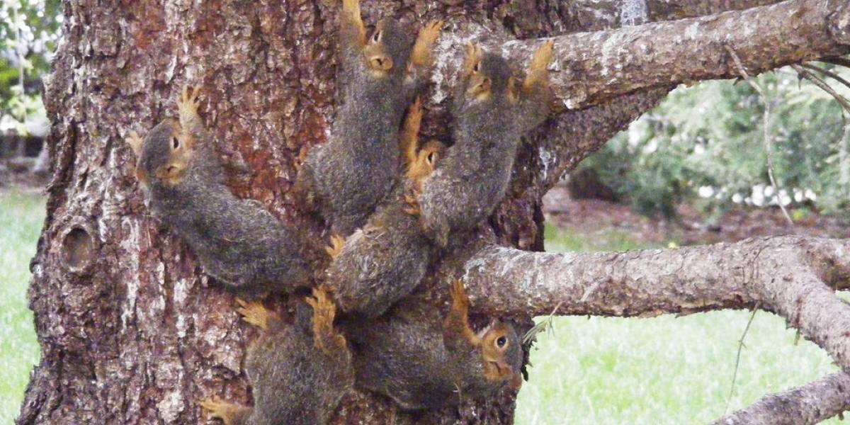 """Con paciencia y mucho amor: experta liberó a seis ardillas """"pegoteadas"""" con sus colas a un árbol"""