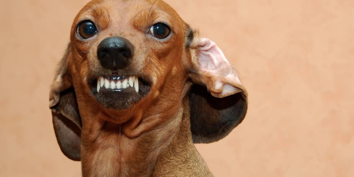 Pequeños asesinos: mujer en EEUU muere tras ser atacada por siete perros salchicha