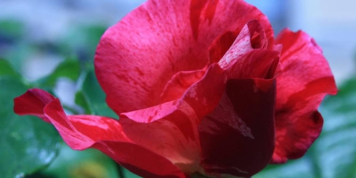 Parentesco com o morango e outras reveladas pelo mapeamento genético das rosas