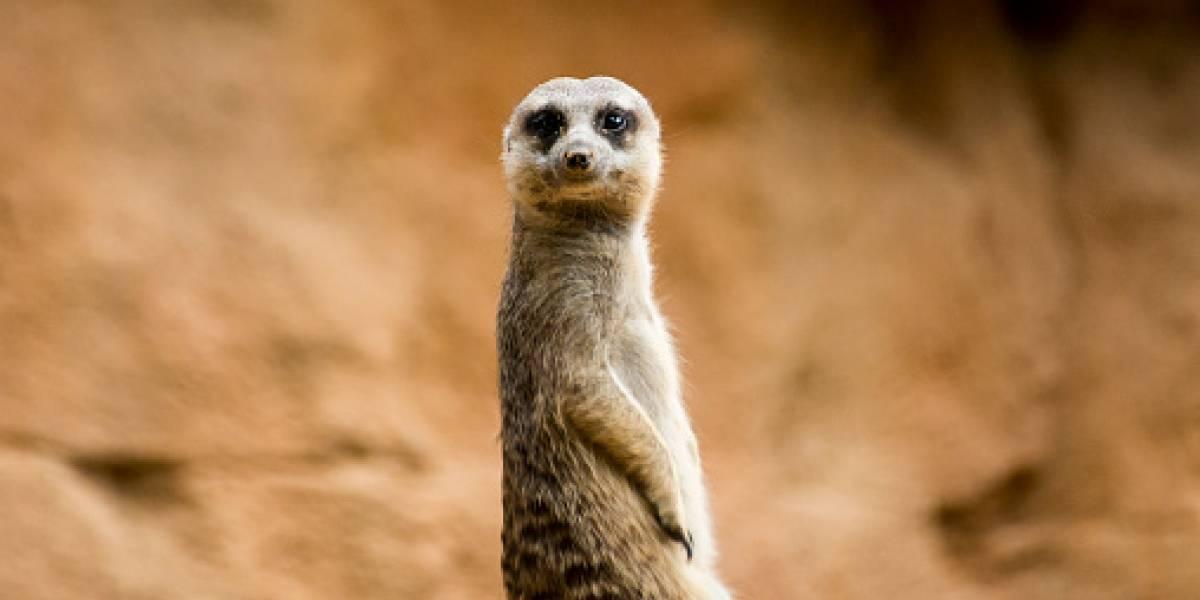 """Niño ignora advertencias de """"no tocar"""" en zoológico y provoca muerte de suricata"""