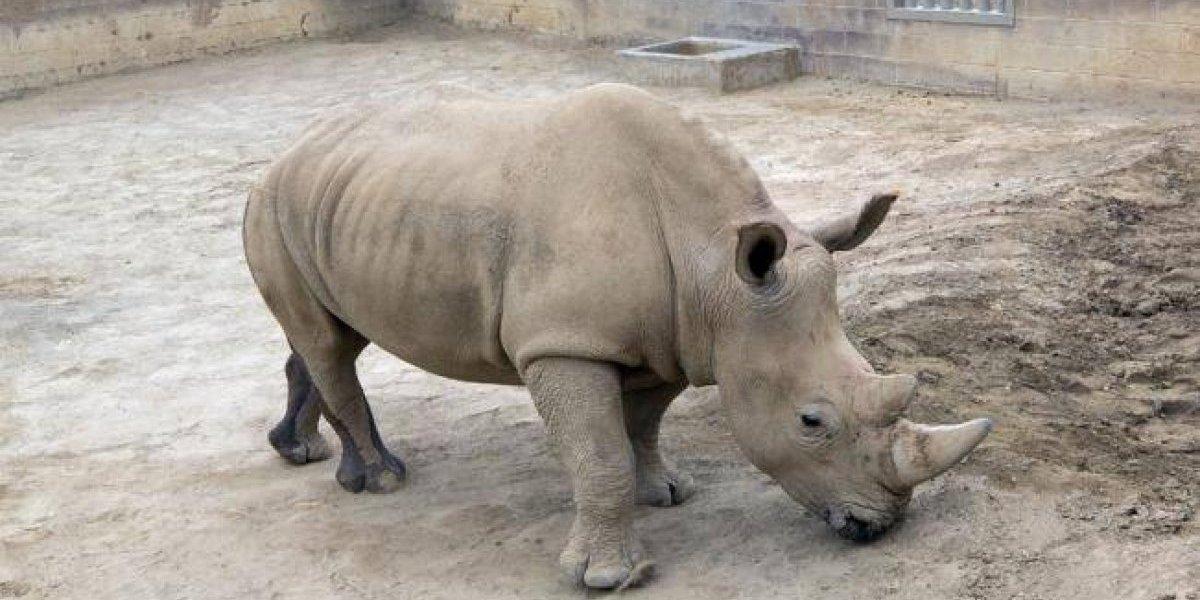 La última esperanza de la subespecie: rinoceronte blanca del sur logró quedar embarazada
