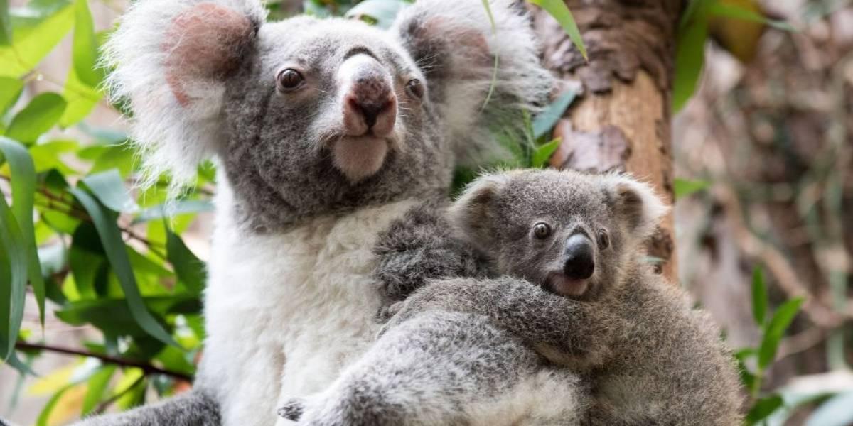 Como uma doença sexualmente transmissível está ameaçando a sobrevivência dos coalas