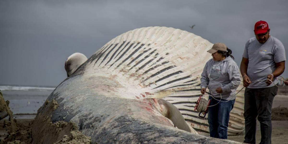 FOTOS: Impresionante ballena gris queda varada en Rosarito