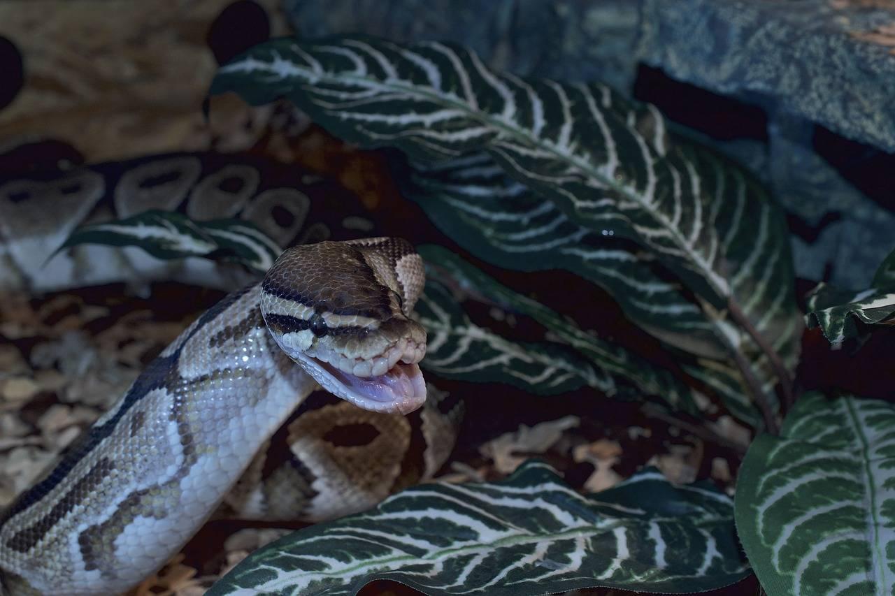 Casual, en México mandaron por paquetería a un caimán, una boa y una pitón