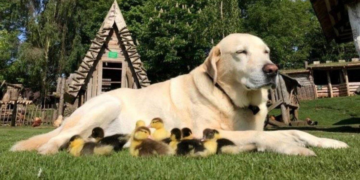 """""""Solo querían a una madre y ahora tienen a Fred"""": perro cría a nueve patitos huérfanos luego que un zorro devorara a su mamá"""