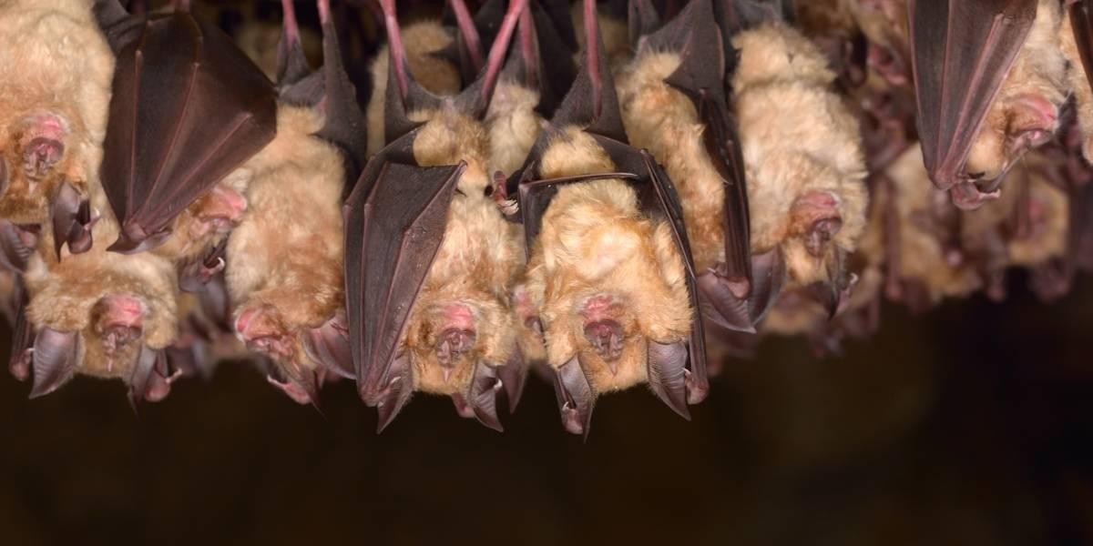 Descubren 6 tipos nuevos de coronavirus en murciélagos