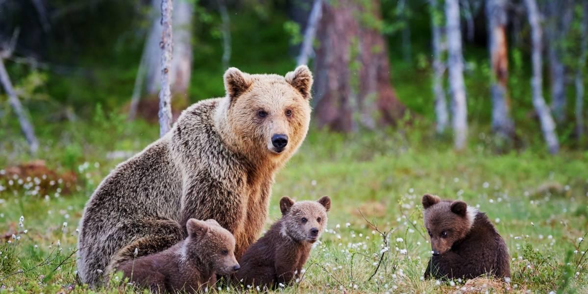 Trump quiere autorizar el uso de donas, dulces y tocino para cazar osos