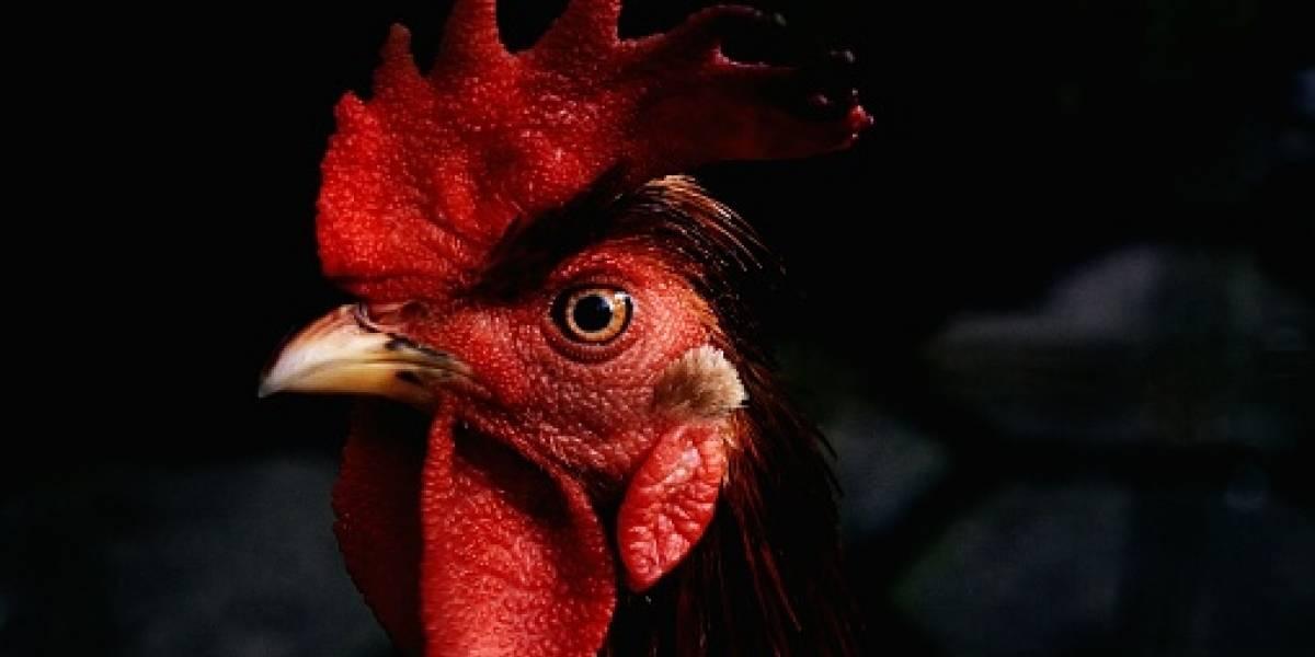 Mitad pollo-mitad humano: científicos crean extraño híbrido para entender mejor el desarrollo de la vida