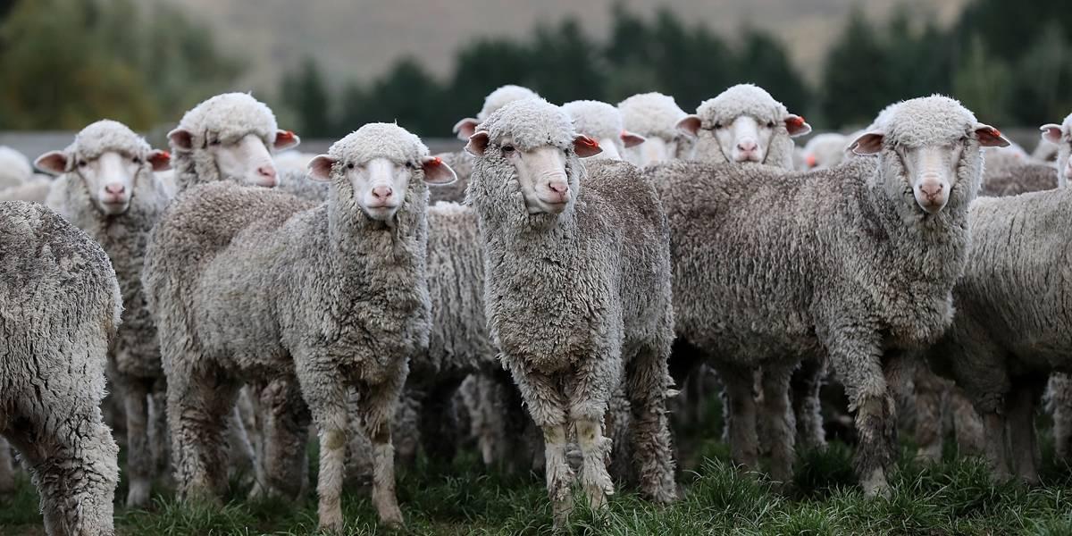 Roma autoriza uso de ovelhas para cortar grama de parques