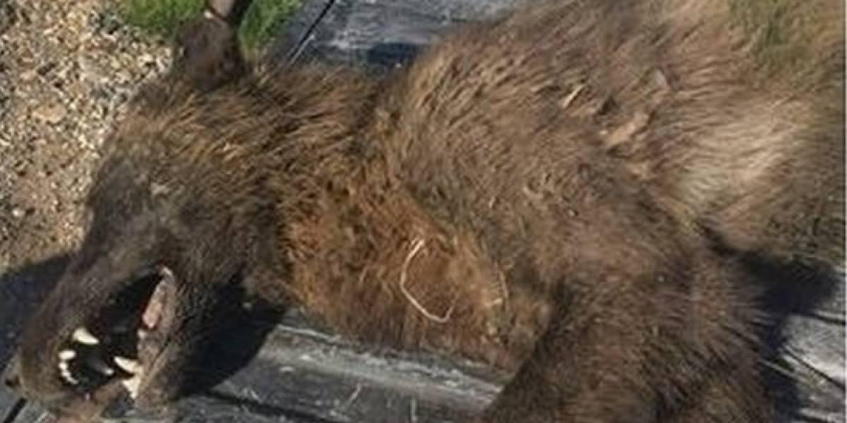 """As teorias sobre a estranha criatura achada nos Estados Unidos que """"parece um lobo"""", mas não é"""