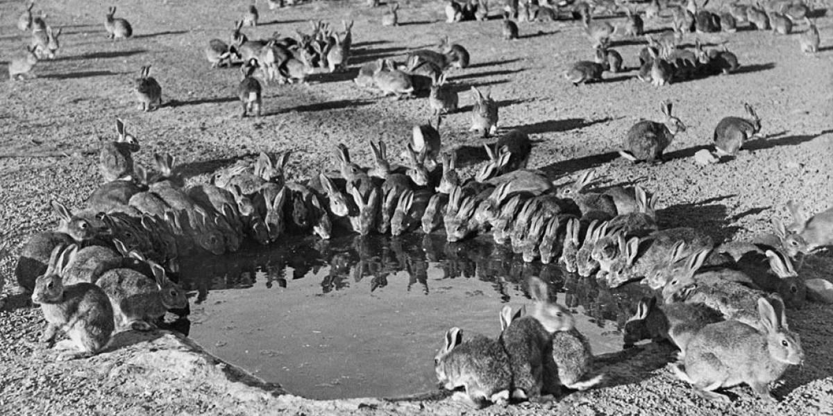 O vírus que o governo australiano importou da América do Sul para matar coelhos