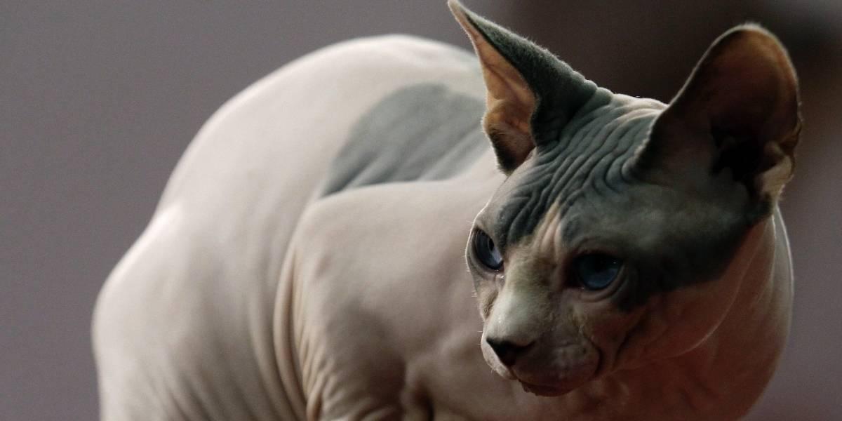 Gato Esfinge, una raza muy cariñosa aunque no lo crea